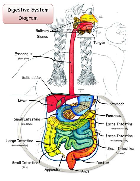 diagram of the digestive system digestive tract diagram diagram site