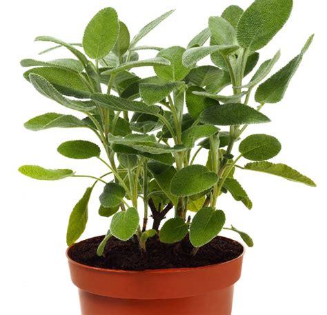 piante per cucina salvia a foglia larga pianta aromatica in vaso per cucina