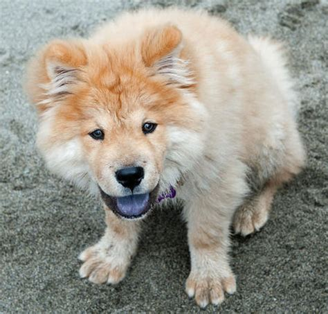 pomeranian chow mix puppies for sale pomeranian chow mix picture breeds picture