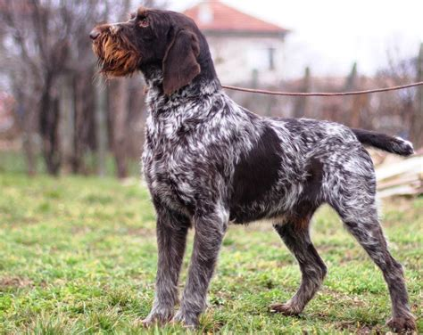 drahthaar puppies stud dogs drahthaar vom moua forst