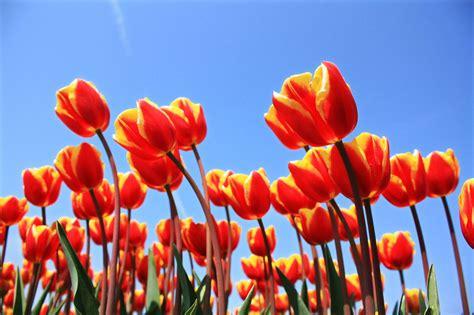 Mukena Bali Tulip Dewasa Fit L yellow tulips free photo 1330581 freeimages