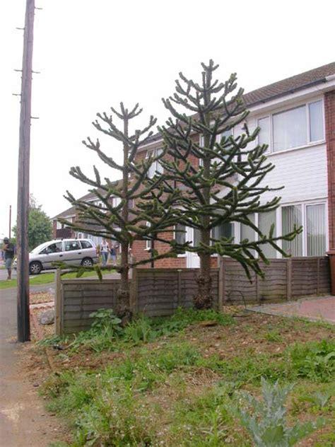 Garden Of Tree Crossword Small Garden With Two Monkey Puzzle 169 Kokai Cc By Sa 2