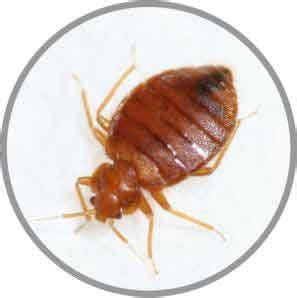 eliminar chinches cama eliminar plaga de cucarachas chinches de cama ratas