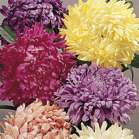 Benih Bunga Aster jual benih bibit bunga aster duchess mixed anneui