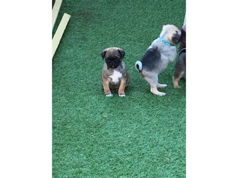 pug puppies dallas quality breed pug puppies animals dallas announcement 30332