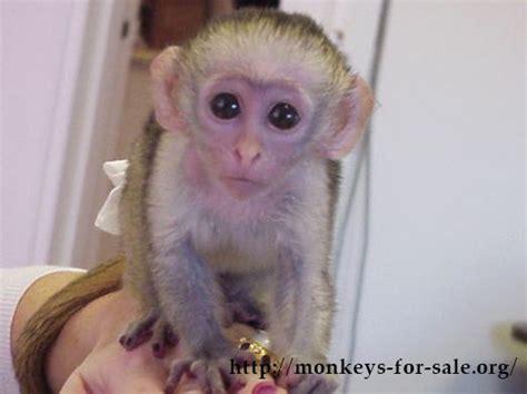 capuchin monkey  sale ideas  pinterest