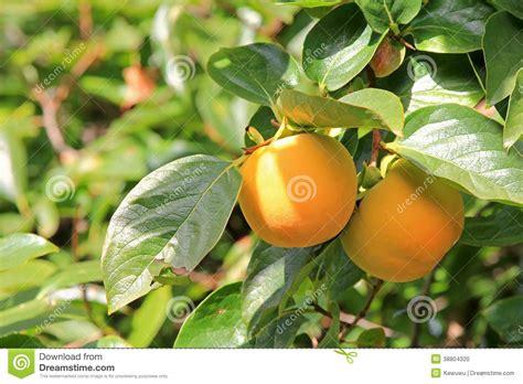Keset Kaki Printing Fruits Berkualitas persimmon tree with fruit stock photo image of fresh 38804320