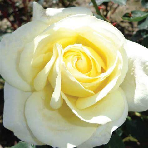 Peaudouce (Dicjana) ? Cants Roses