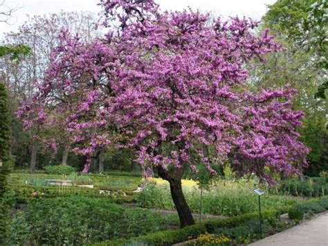 City Backyard Landscaping Ideas Judasboom Cercis Siliquastrum Sierbomen Garden