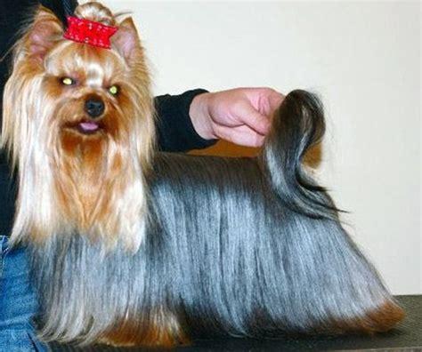 dog haircuts edmonton the 25 best yorkie hair cuts ideas on pinterest yorkie