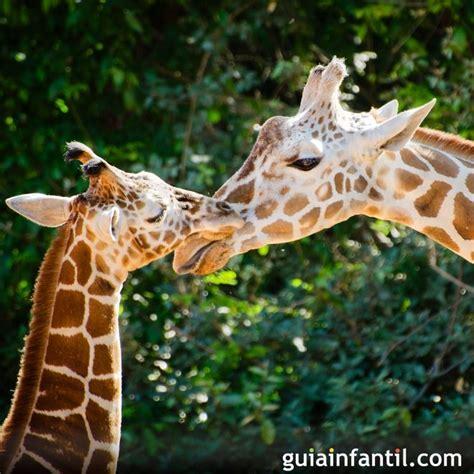 imagenes de jirafas y vacas imagenes de jirafas y vacas tiernas imagui