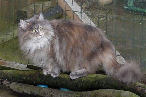 maine coon cat breed maine coon cat breed profile uk cat breeders