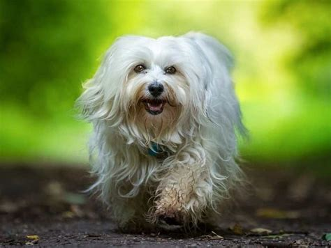 small breeds havanese small breeds list of all small dogs small hypoallergenic breeds