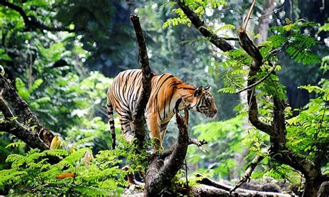 what are the different types of tigers living what are the different types of tigers living today worldatlas com