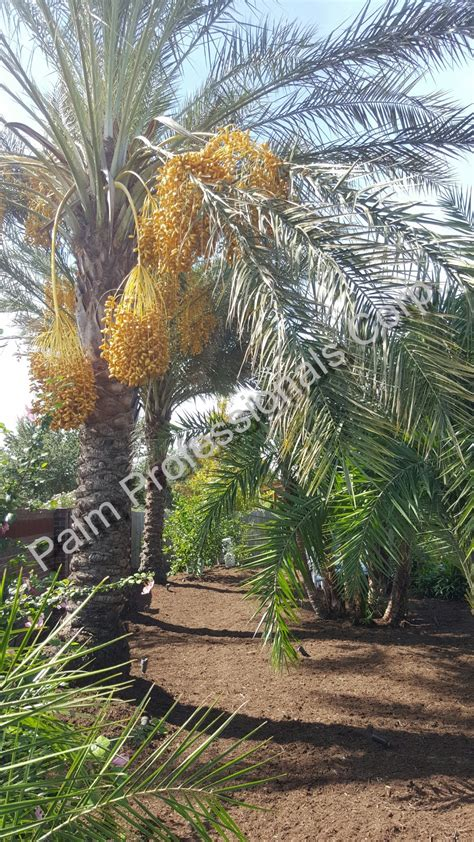 where to buy trees in houston purchase medjool date palms houston medjool