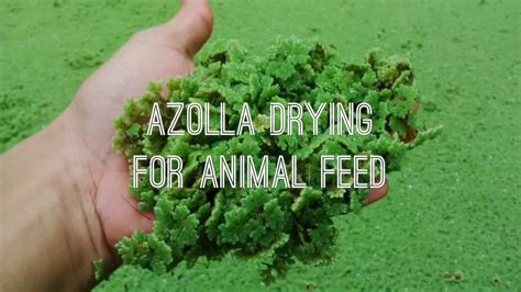 Azolla Kering azolla drying for animal feed pengeringan azolla untuk