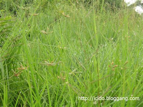 couch grass scientific name bloggang com icido หญ าแพรก wire grass