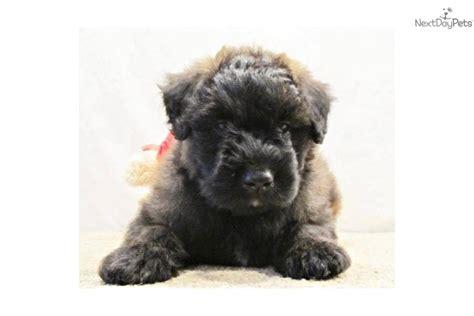 bouvier puppies for sale bouvier des flandres puppy for sale near springfield missouri 57a58dbb 0ca1