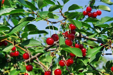 cherry tree wisconsin sour cherry tree stock image image of fruits abundance 9946989