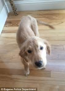 golden retriever in apartment oregon golden retriever puppy rescued after left abandoned daily mail