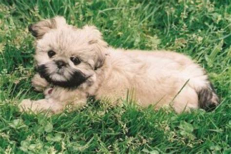 shih tzu pekingese mix information info about the shih tzu pekingese mix aka the shinese dogable