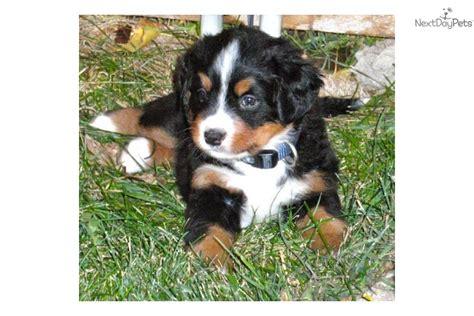 bernese mountain puppies colorado bernese mountain puppy for sale near boulder colorado 12bfba69 9e61