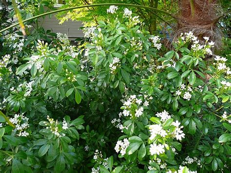 evergreen shrubs with white flowers mexican orange choisya ternata greenspade