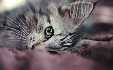 wallpaper atau cat 100 wallpaper kucing lucu dan comel kualitas hd kucing