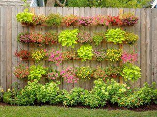sweet potato vine   plant grow  care