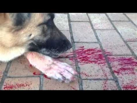 how does a bleed after puppies breathing and coughing up blood d con poisoning funnycat tv