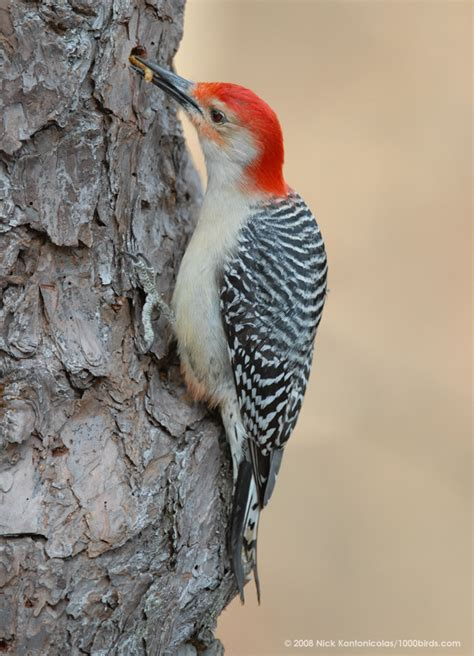 florida woodpeckers who s your granny