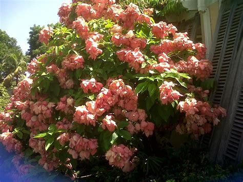 mussaenda - Shrub Flowers