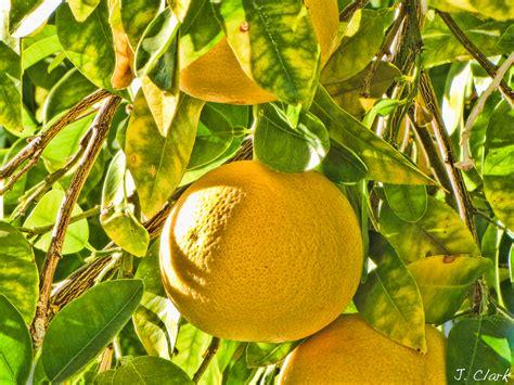 grape fruit tree world of knowledge grapefruit