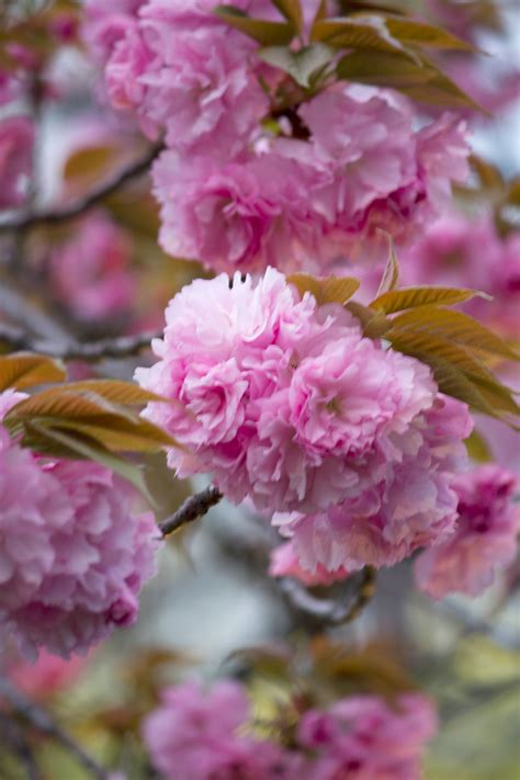 the gallery for gt pink flowering trees identification