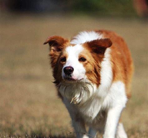 边境牧羊犬图片第8953张_边境牧羊犬图片 - 中国名犬网