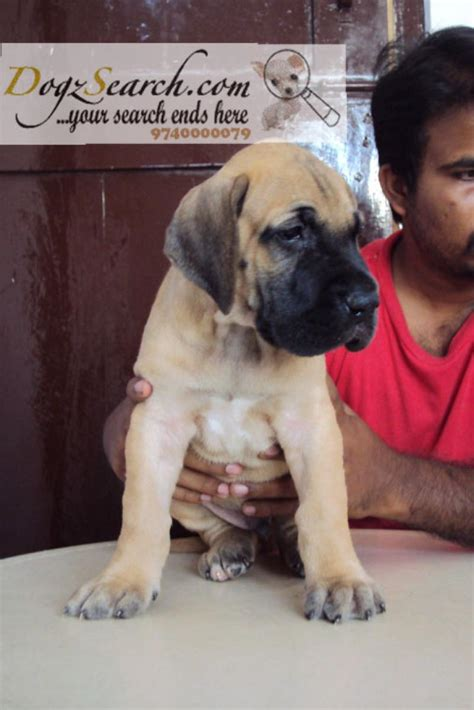 great dane mix puppies for sale great dane dalmatian mix puppies for sale breeds picture