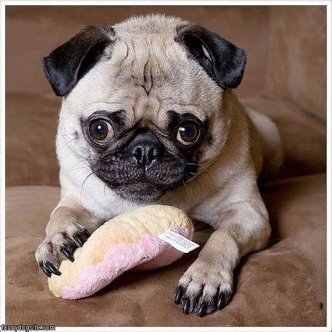pugs are stupid pug funnydogsite