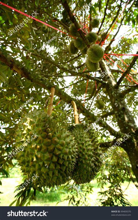 montong durian tree garden chanthaburi thailand stock