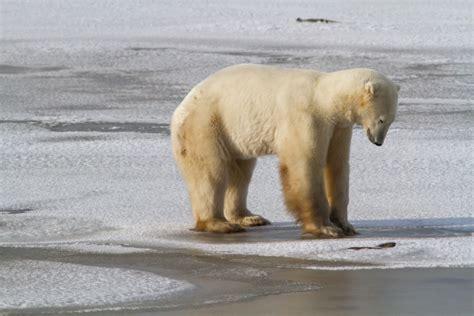 polar alert program churchill polar bears