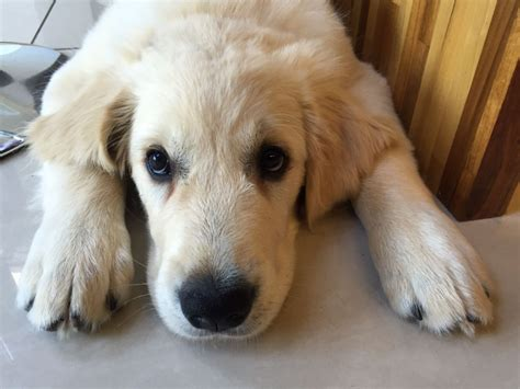 8 year golden retriever stunning kc reg 15 week golden retriever pup prescot merseyside pets4homes