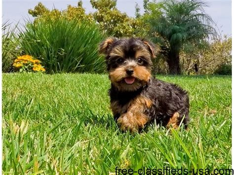 free teacup yorkies houston tx teacup yorkie puppies animals houston announcement 40728