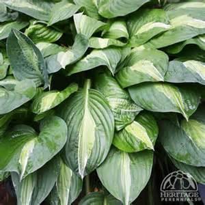 plant profile for hosta striptease hosta perennial