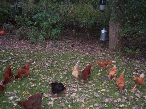 Backyard Chickens Sacramento County Health Wise Chicken Eggs Rule The Roost Headline