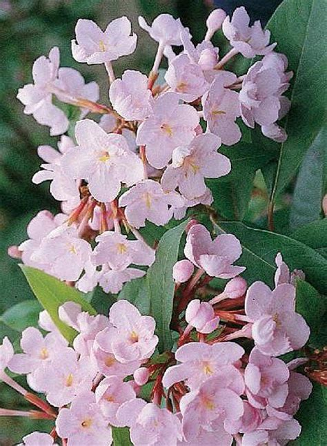 pink winter flowering shrub luculia pinceana var pink spice winter and early