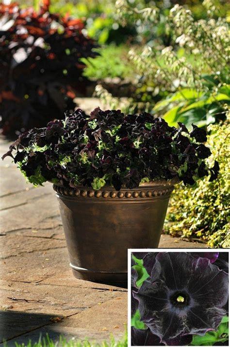 Black Flower Garden Top 10 Black Plants For Color Contrast Garden Pics And Tips