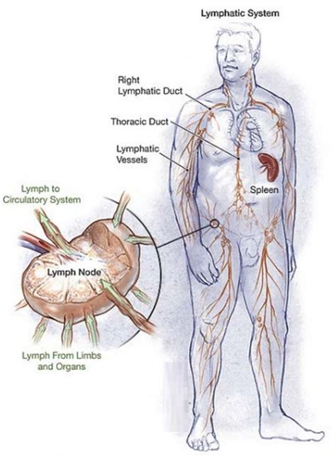 lymph nodes groin diagram lymph node locations neck groin ear diagram pictures lymph