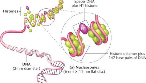 chromatin diagram chromatin html 12 09 chromatin jpg