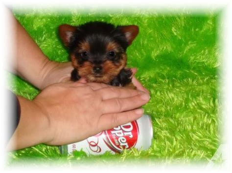 yorkie puppies for sale stockton ca teacup puppies for sale must see customers text 479 650 685 for