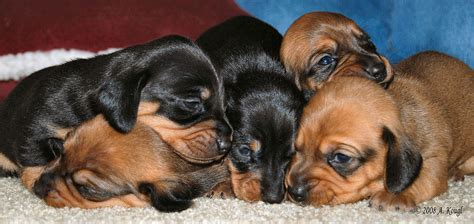 a bunch of puppies bunch of puppies photograph by anthony kougl