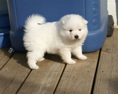 japanese spitz puppies konalae japanese spitz